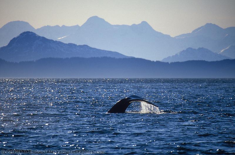 Humpback whale, Chugach mountains, Prince William Sound, Alaska