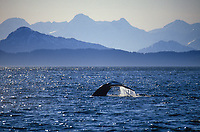 Humpback whale, Chugach mountains, Prince William Sound, Alaska