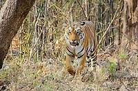 Bengal tiger, Panthera tigris tigris, patroling its territory in the woods, Tadoba Andhari Tiger Reserve, Tadoba Andhari National Park, Chandrapur, Maharashtra, India
