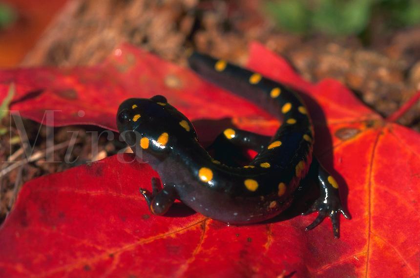 Spotted salamander (Ambystoma maculatum) on red leaf.