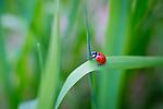 A ladybug, or ladybird, beetle exploring a blade of grass