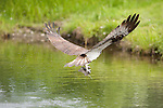 Osprey catching fish in lake, Pandion haliaetus haliaetus , Kangasala, Finland, sea hawk, fish eagle, river hawk or fish hawk, is a diurnal, fish-eating bird of prey, large raptor, Pohtiolampi Osprey Center, maintained by the Finnish Osprey Foundation
