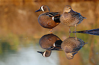 Blue-winged Teal (Anas discors), pair, Fennessey Ranch, Refugio, Corpus Christi, Coastal Bend, Texas Coast, USA