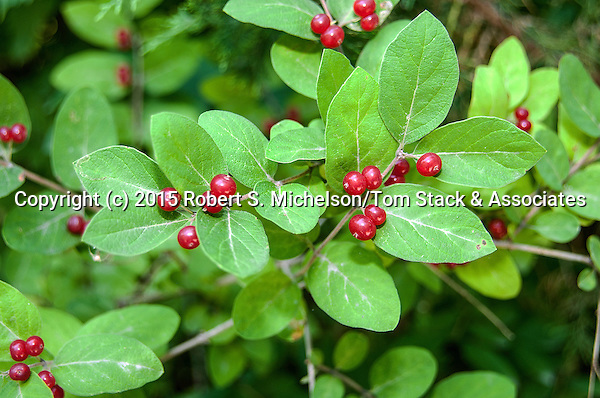 Spicebush with berries medium shot, Plymouth, Massachusetts