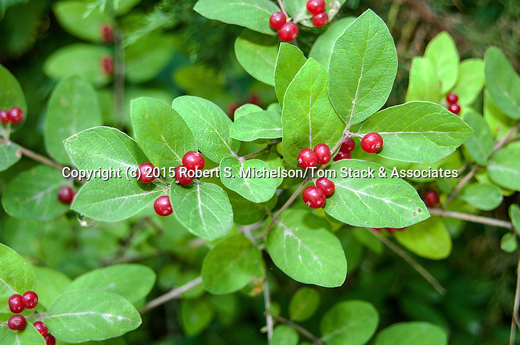 Spicebush with berries medium shot, Plymouth, Massachusetts