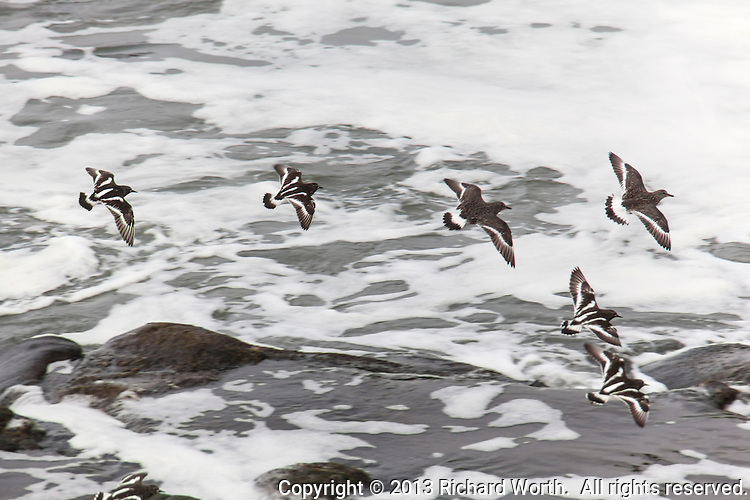 Four Black turnstones and two Surfbirds in flight along California's coast.