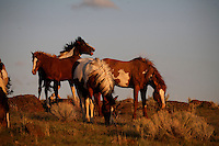 A bachelor band of wild horses watches out for the harem stallion to wander from protecting mares, vying for the opportunity to steal a mare in Steens Mountain Oregon. In the hierarchy of the social order of horses, the male families are comprised of young studs developing confidence and older horses that can no longer keep a mare.