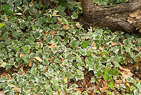 Hedera helix 'Glacier' as groundcover
