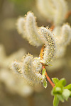 willows, Salix species, spring, catkins, shrub, nature, outdoors, June, morning, Rocky Mountain National Park, Colorado, Rocky Mountains, USA