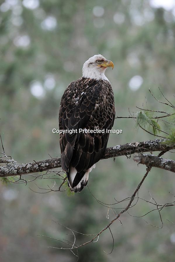 bald eagle, sitting