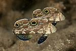 Twinspot gobies (Signigobius biocellatus)