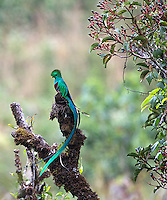 The resplendent quetzal is the main attraction at Savegre.