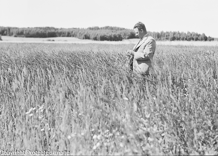 Professor Otto Valle at the Agricultural Coalition in Tikkurila, Finland 1956 examing arable crops in a cereal field
