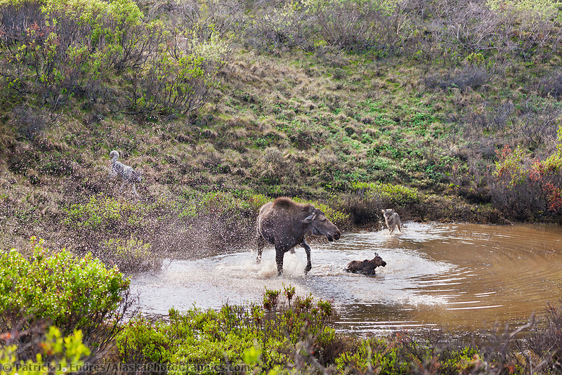 Cow moose in tundra pond defends her newly born calf from the Grant Creek wolf pack in Denali National Park, Alaska.