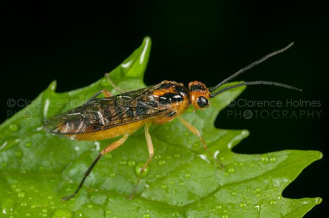 Locust Sawfly (Nematus tibialis), West Harrison, Westchester County, New York