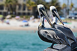 A pair of Brown Pelicans on a Hollywood Florida pier.