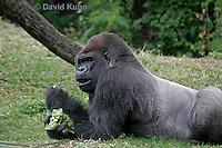 0210-08tt  Western Lowland Gorilla, Gorilla gorilla gorilla © David Kuhn/Dwight Kuhn Photography
