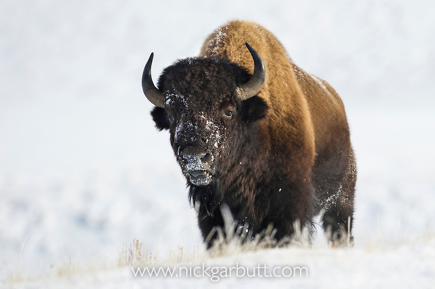 Bull American Bison (Bison bison) grazing in deep snow. Hayden Valley, Yellowstone National Park, Wyoming, USA.