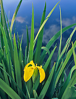 Yellow Flag iris (iris pseudacorus) growing pondside near Alpine, Oregon.