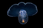 Sea Butterfly, Corolla spectabilis, Black Water Diving; Jellyfish; Plankton; larval crustaceans; larval fish; marine behavior; pelagic creatures; pelagic larval marine life; plankton creatures; underwater marine life; vertical migration marine creatures