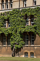 Detail of the luxuiriant (and ancient) Boston Ivy or Japanese Creeper vine which grows up the stonework of Christ Church College's Meadow Building, Oxford.