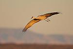 Sandhill Crane Floating in Flight at Sunset Bosque del Apache Wildlife Refuge New Mexico