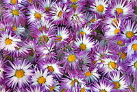 purple flowers with yellow centers in large group, Vermont USA