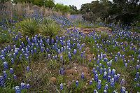 Beautiful Spring Bluebonnets and Yucca Trees in Texas Hill Country Meadow, Texas Hill Country, Texas, USA.