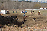Highway 395, Mount Vernon, Northeastern, Oregon, Pacific Northwest, U.S.A., ranch country, cowboys, calves, calf roundup, spring tagging and inoculations,