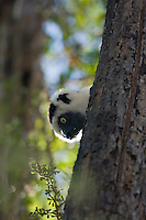 Verreaux's sifaka peeking its head around a tree trunk