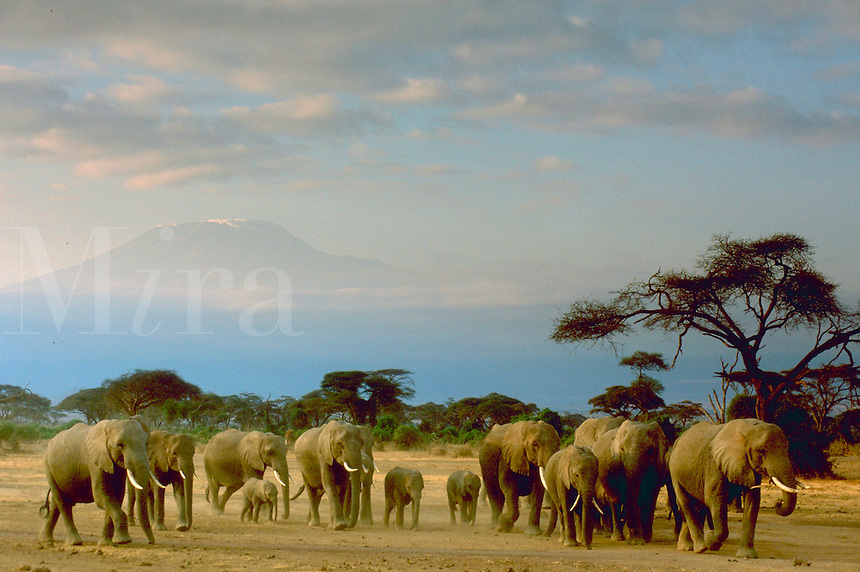 A herd of elephants walking through Amboseli Park, Kenya with Mount Kilimanjaro in the distance behind them.