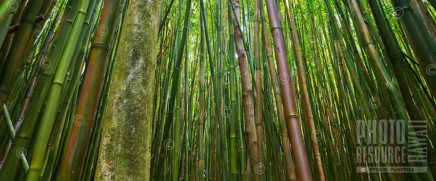 Sunlight filters through a huge bamboo forest in Honolulu, O'ahu.