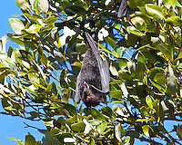 Black Flying Fox, Kooloobung Crk Park, Port Macquarie, NSW, Australia