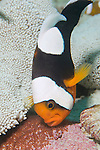 Anilao, Philippines; a large Saddleback Anemonefish (Amphiprion polymnus) tends to it's bed of eggs near the base of a Haddon's Anemone