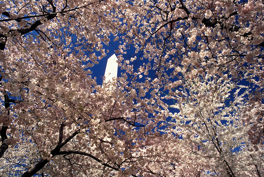 Washington Monument, Washington, DC, District of Columbia, Cherry blossoms surround the Washington Monument at National Mall in the spring in Washington, D.C.