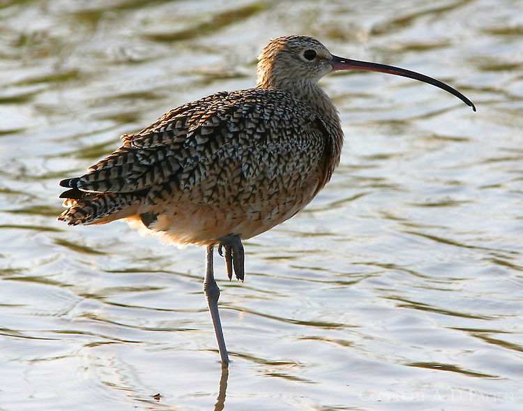 Adult long-billed curlew