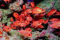 Hawaiian squirrelfish, or striped squirrelfish, Sargocentron xantherythrum, schooling in lava tube cave, Papahanaumokuakea Marine National Monument, French Frigate Shoals, Papahanaumokuakea Marine National Monument, Northwestern Hawaiian Islands, Hawaii, USA, Hawaii, USA, Pacific Ocean