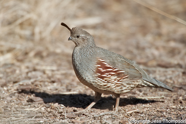 Female Gambel's Quail, Bosque del Apache NWR, New Mexico