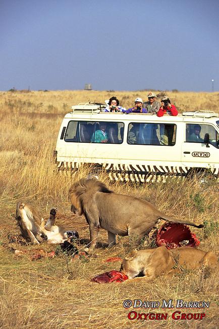 Tourists Watching Lions Feeding On Wildebeest
