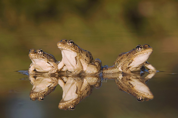 Rio Grande Leopard Frog, Rana berlandieri, three adults in water with reflection, Uvalde County, Hill Country, Texas, USA