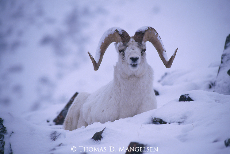 A Dall sheep rests in snow in Kluane National Park, Yukon Territory in Canada.