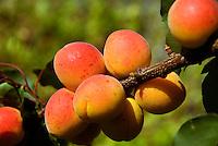 Austria, Lower Austria, Wachau, Apricots (Prunus armeniaca), in Austria called Marillen, harvest time is July