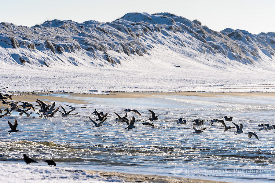 Norway, Klepp. Birdlife at Borestrand on a cold day.