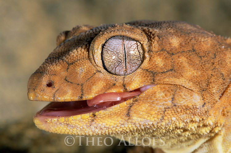 Australia, Northern Territory, knob-tailed gecko, mouth open, tip of tongue sticking out