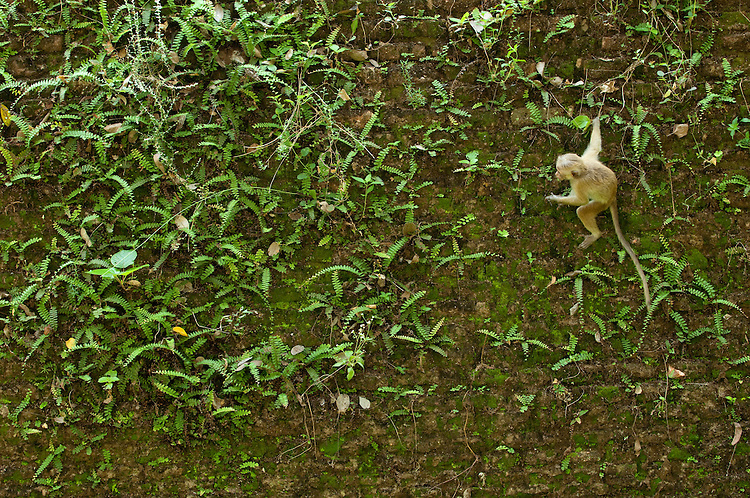 A Toque Macaque swings to collect plants and fungi on the 13th century city walls in the Pollonaruwa reserve, Sri Lanka. IUCN Red List Classification: Endangered