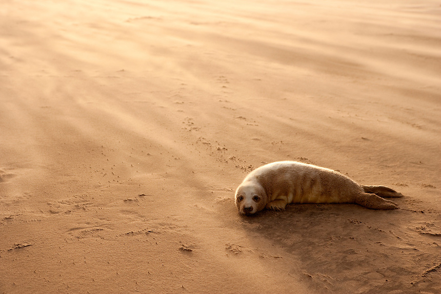 Grey Seal (Halichoerus grypus) Pup resting on a sand bank during a sandstorm, Donna Nook, Lincolnshire