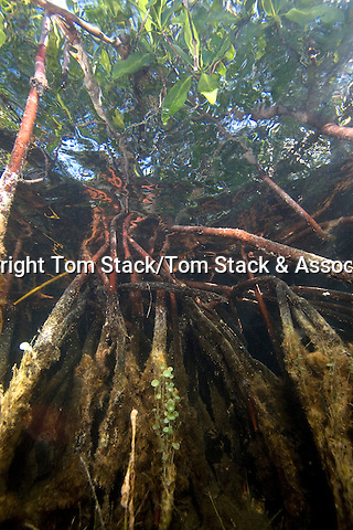 Prop Roots of Red Mangrove,Rhizophora mangle, underwater serving as a host for algae, sponges and other marine life.  Florida Bay, Islamorada, Florida Keys, Florida
