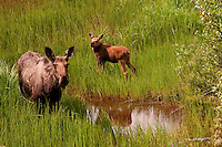 A cow moose and her young baby graze in the western lands of Cook Inlet near Beluga, Alaska.