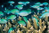 green chromis or damselfish, or blue-green puller, Chromis viridis, stay close to shelter in branches of Acropora coral, Great Barrier Reef, Queensland, Australia, Coral Sea, Pacific Ocean