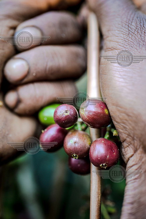 Jamila Abamacha harvests coffee cherries, the fruit that contains the coffee beans, from a bush in the Teppi Plantation. It is one of country's largest plantations and is where Starbucks buys much of its Ethiopian coffee. /Felix Features